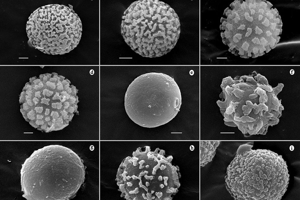 destaca-tulostomataceous-nov2020