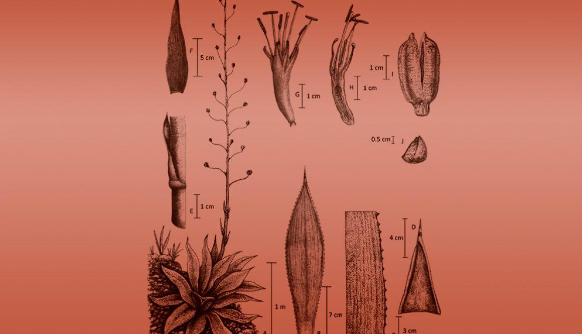 11destaca-agave-sureste-ago2021