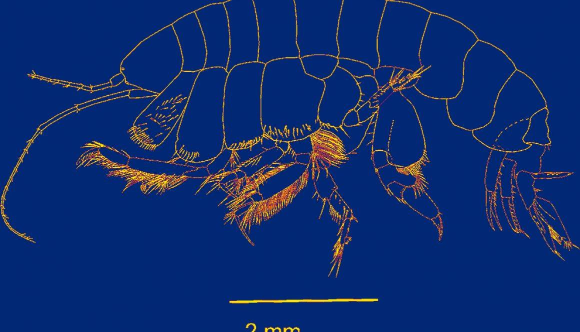 destaca-Ampelisca-Crustacea-sep2021