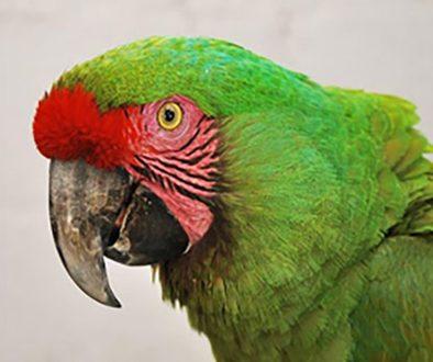 destaca-Military-Macaws-sep2021